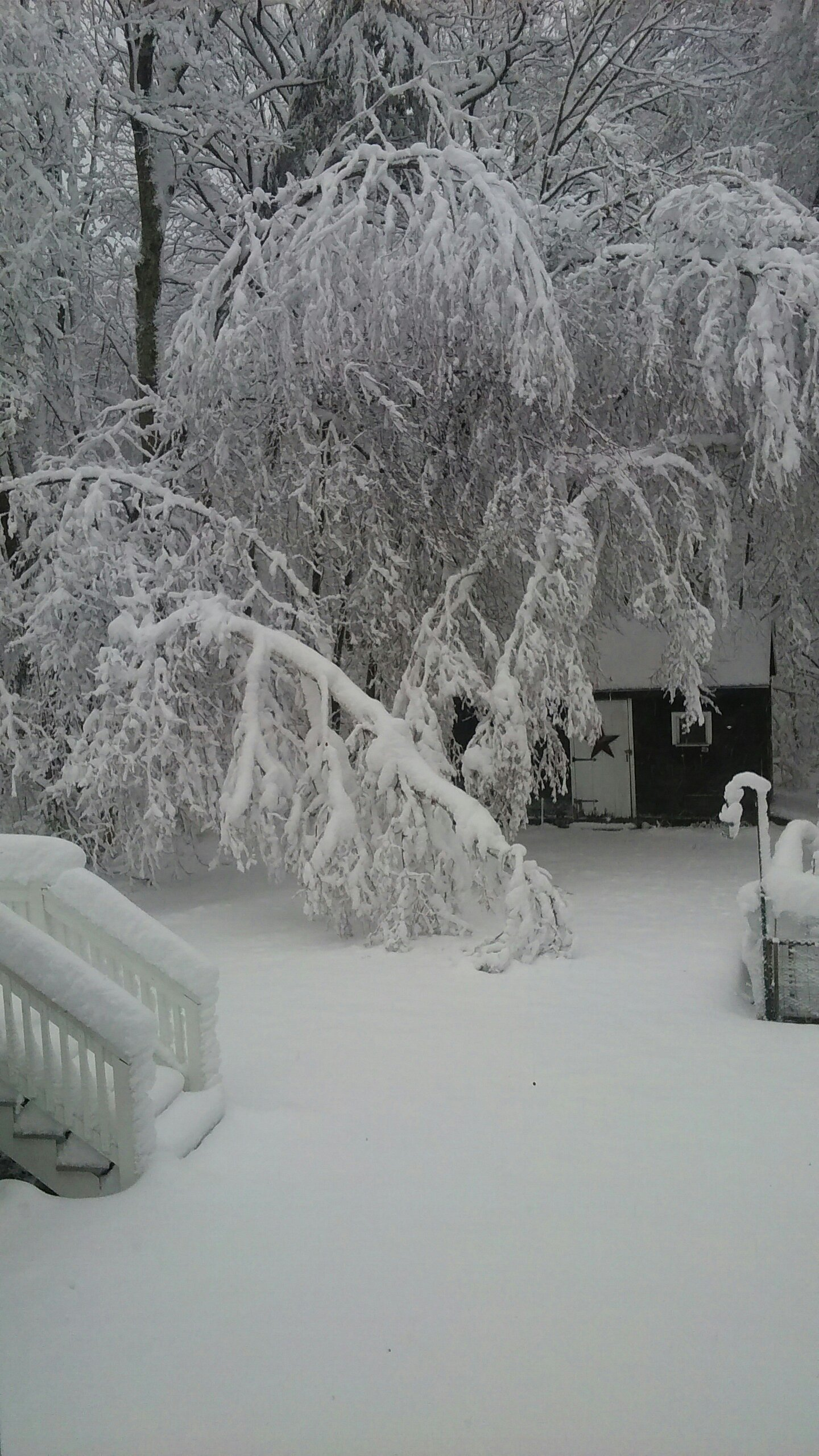 Trees bent over with heavy snow.